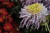 怒放过后的秋菊图片(7张)