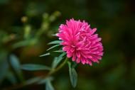 淡雅千日菊花卉图片(8张)