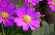 瓜叶菊图片(5张)