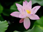 粉色荷花图片(14张)