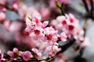 桃花图片(13张)