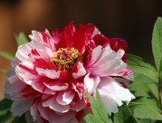 富贵牡丹花卉图片(10张)