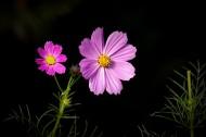 唯美粉色和白色波斯菊图片(12张)