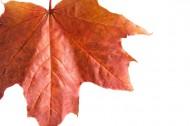 红色的枫叶图片(10张)