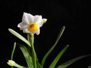 水仙花图片(11张)