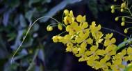 黄色槐花图片(7张)