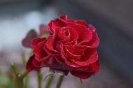 鲜艳的红玫瑰图片(17张)
