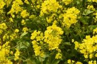 黄色油菜花图片(8张)