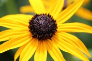 黄色非洲菊图片(11张)