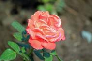 玫瑰花卉图片(11张)