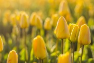 黄色的郁金香图片(11张)