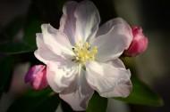 垂丝海棠图片(10张)