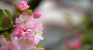 娇俏的海棠花图片(9张)