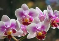 美丽的蝴蝶兰高清图片(15张)