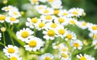 各种颜色的雏菊图片(17张)