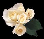 白玫瑰透明背景PNG图片(15张)