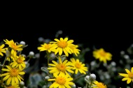 野菊花图片(8张)
