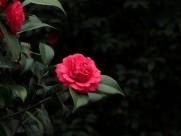 红色茶花图片 (15张)