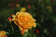 各种颜色的玫瑰花图片(11张)