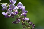 紫藤花高清图片(14张)