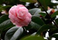 粉红的山茶花图片(7张)