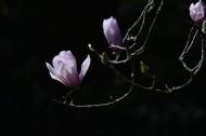 粉红色玉兰花图片(9张)