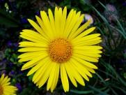 黄灿灿的菊花图片(14张)