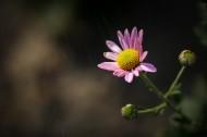 粉色雏菊图片(11张)