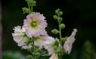 粉色蜀葵花图片(8张)