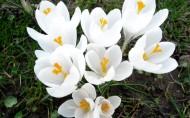 番红花图片(11张)
