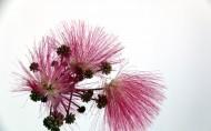 粉色毛绒绒的合欢花图片(12张)