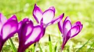 浓郁紫色花朵背景图片(24张)
