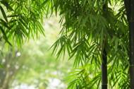 翠绿挺拔的竹子图片(14张)