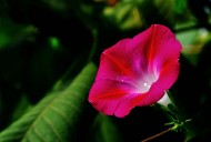 粉红色牵牛花图片(15张)
