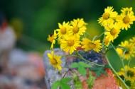 黄色小野菊图片(8张)