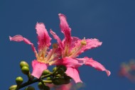 美人树图片(15张)