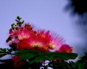 美丽的合欢花图片(11张)