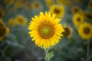 绽放的向日葵图片(11张)