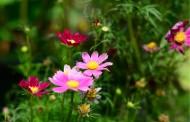 多色波斯菊花卉图片(7张)