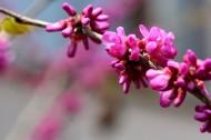 紫荆花图片(10张)