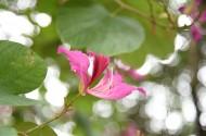 光影紫荆花图片(5张)