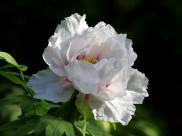 白色牡丹花图片(12张)
