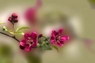 海棠花图片(7张)