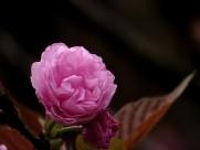 唯美的樱花图片(12张)