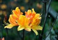 黄色紫荆花图片(9张)