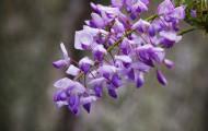紫藤花卉图片(10张)