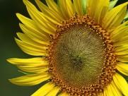 金黄色的向日葵图片(10张)