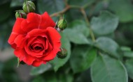 美丽的玫瑰花图片(22张)