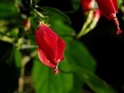 红色龙吐珠图片(10张)