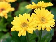 靓丽的非洲菊花卉图片(11张)